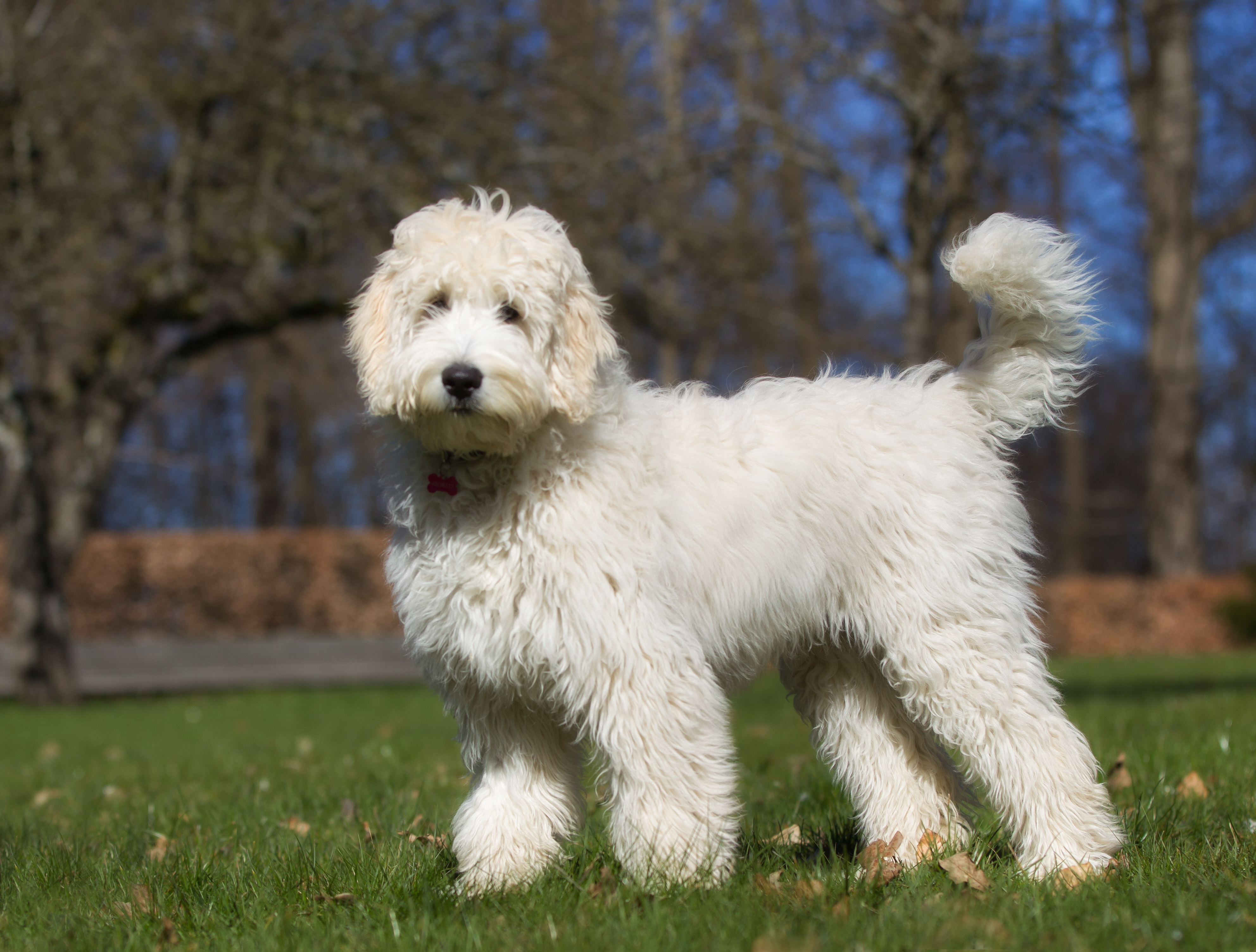 A mixed breed Labradoodle dog.